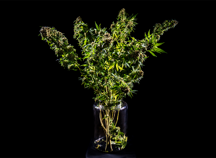 giy cannabis