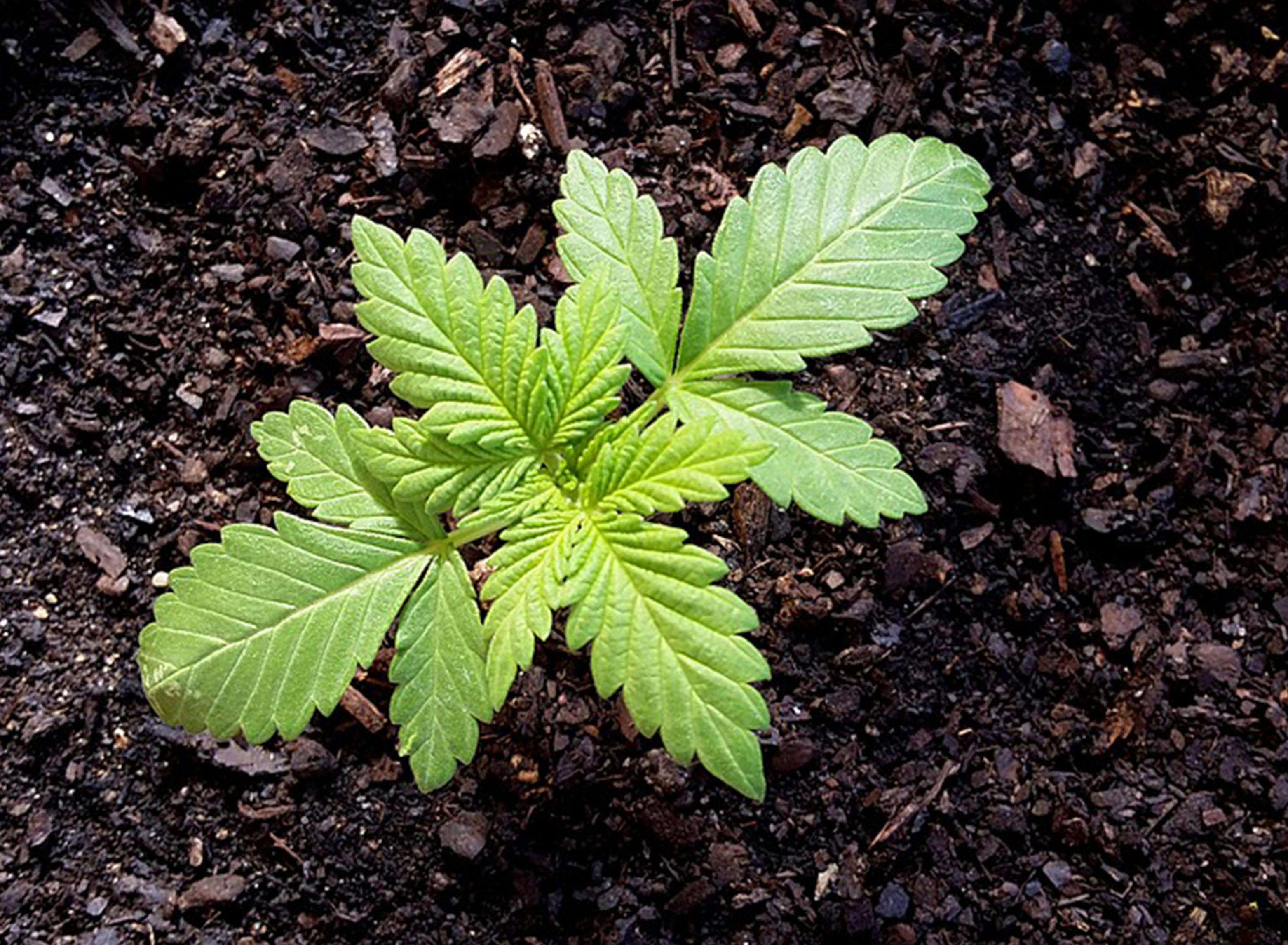 grow cannabis hands-off